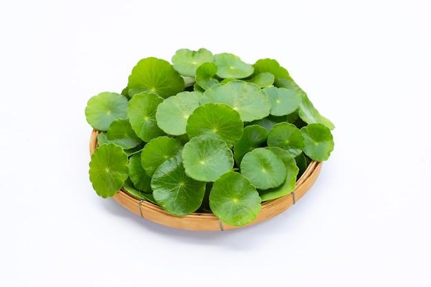 新鮮な緑のツボクサの葉またはチドメグサ植物