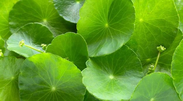 Свежие зеленые листья центеллы азиатской или водяное растение пыречника