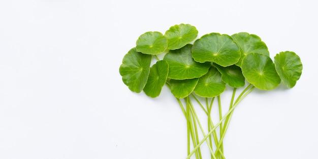 Свежие зеленые листья центеллы азиатской или водоросли