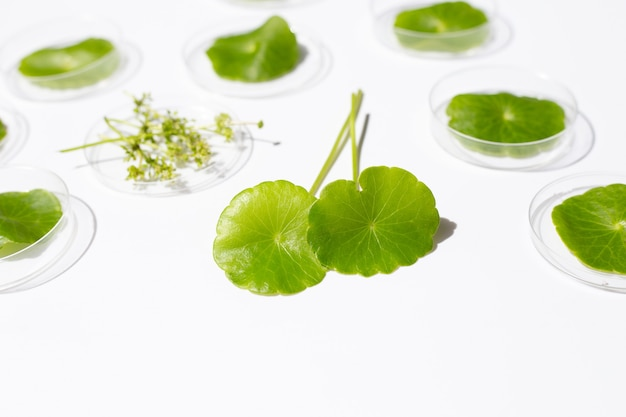 Fresh green centella asiatica leaves in petri dishes on white background.