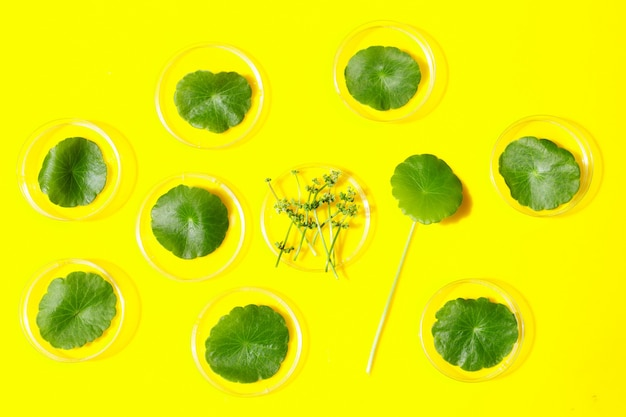 Fresh green centella asiatica leaves in petri dishes on yellow background.