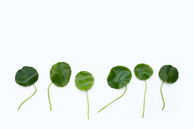 Fresh green centella asiatica leaves on white background.