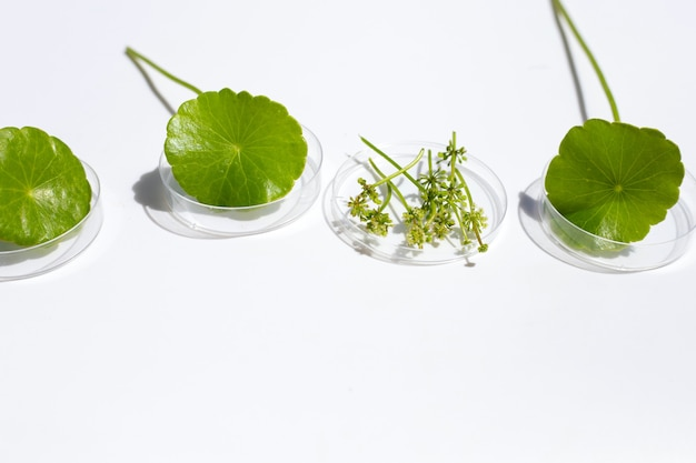 Fresh green centella asiatica leaves with flower in petri dishes on white background.