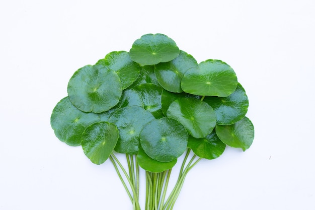 Fresh green centella asiatica leaves