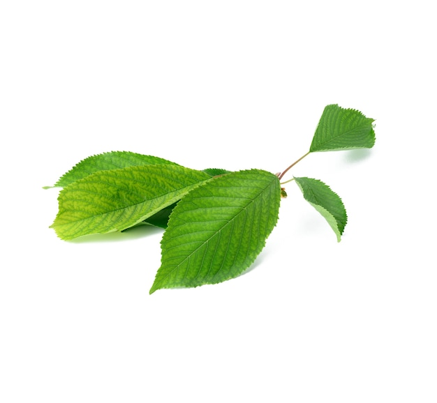 Fresh green cherry leaves on white background, close up