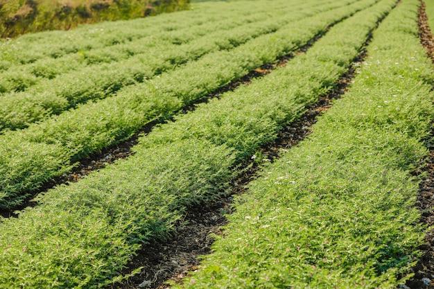 新鮮なグリーンchickpeasフィールド、チンピースもハルバラまたはハルバラとしてヒンディー語で知られています