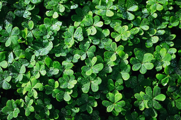 湿った水露滴と新鮮な緑のクローバー、上からの眺め
