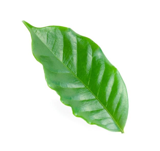 白で隔離される新鮮な緑のコーヒーの葉。
