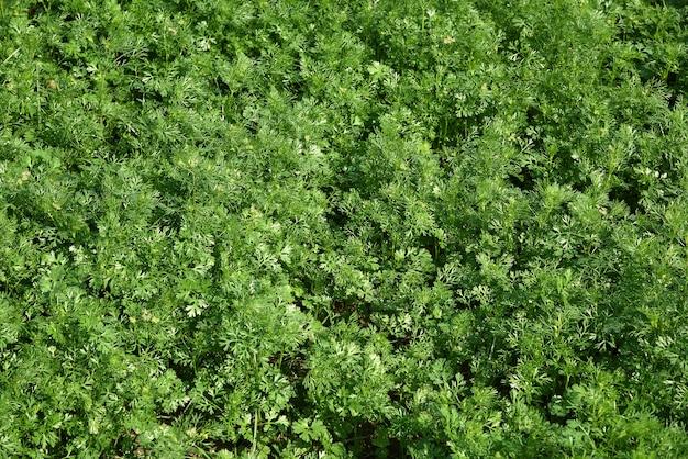 정원 또는 농장 필드에서 신선한 녹색 고수풀