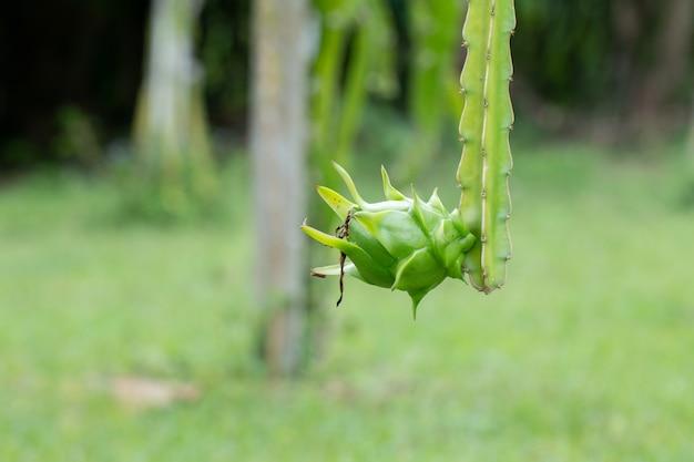 Свежий зеленый дракон-фрукты в утреннее время на ферме