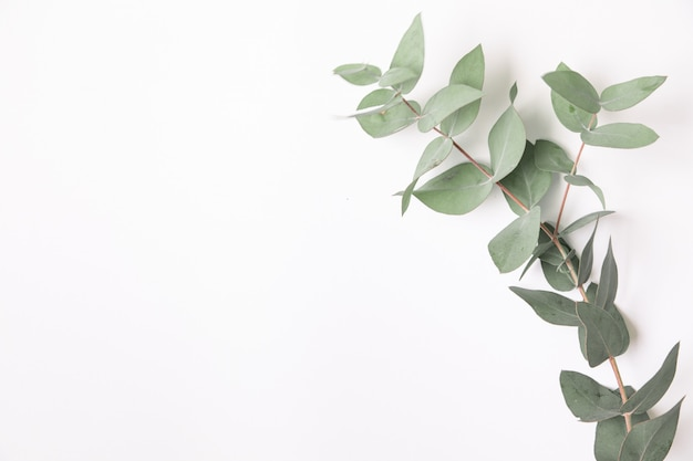 Fresh green eucalyptus branch.