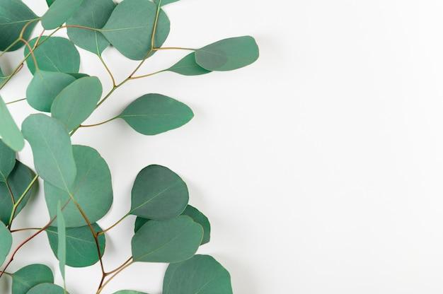 Fresh green eucalyptus leaves isolated on white background.