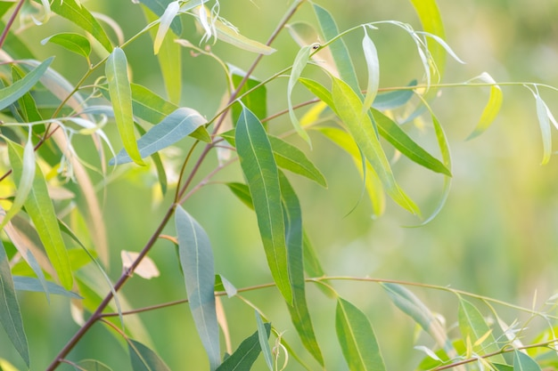 Fresh green eucalyptus leaves