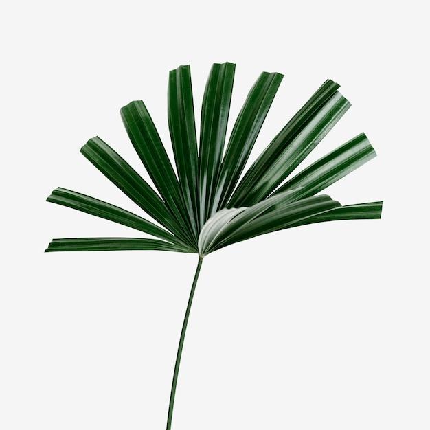 Fresh green fan palm leaf on an off white background