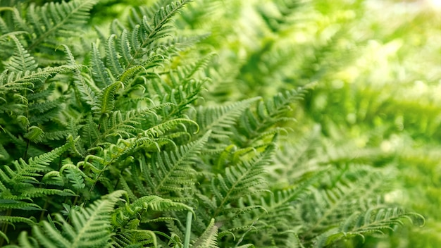 Fresh green fern leaves natural background