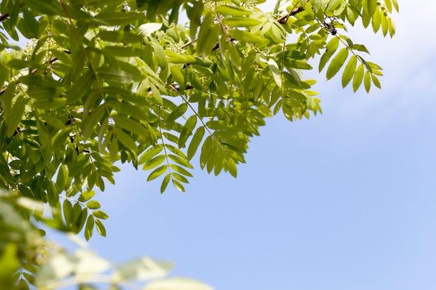 Свежая зеленая листва рябины в парке весной