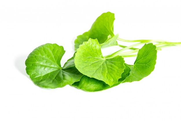 Свежий зеленый готу кола, лист центеллы азиатской