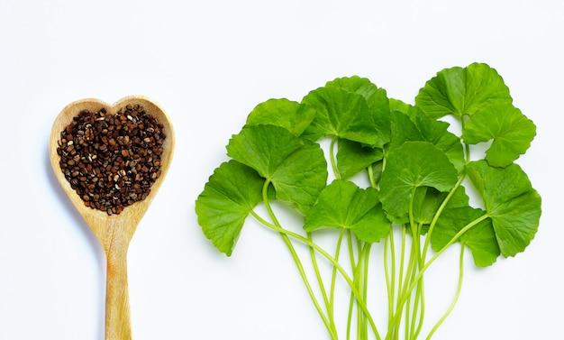 Свежее зеленое kola gotu с семенами на белой предпосылке.