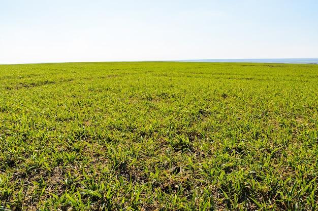 봄 화창한 날에 신선한 녹색 잔디입니다. 봄 풍경입니다. 넓은 녹지. 배경, 푸른 잔디 질감입니다.