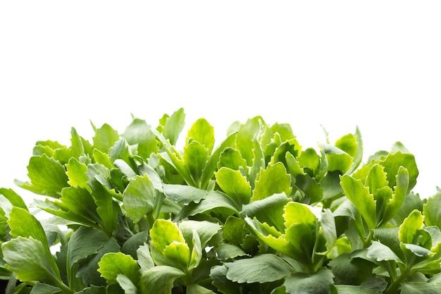 Изолировать большие листья свежей зеленой травы на белом фоне
