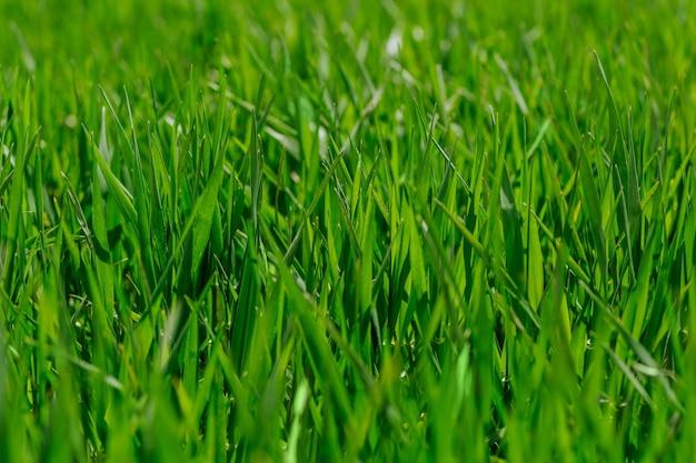 晴れた日の自然な背景の新鮮な緑の草をクローズアップ