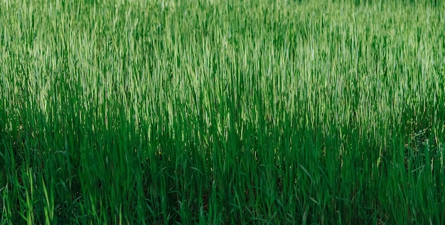 Свежая зеленая трава текстура фон