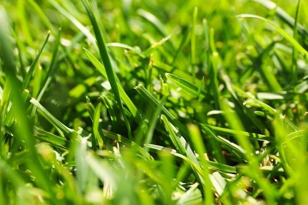 新鮮な緑の草のテクスチャです。自然な背景、クローズアップ