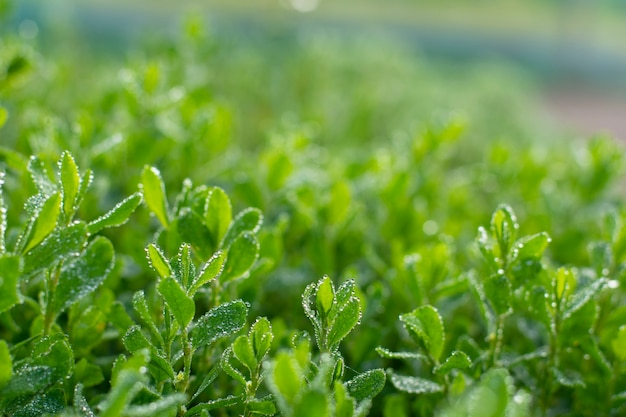 Fresh green grass with rain water drops