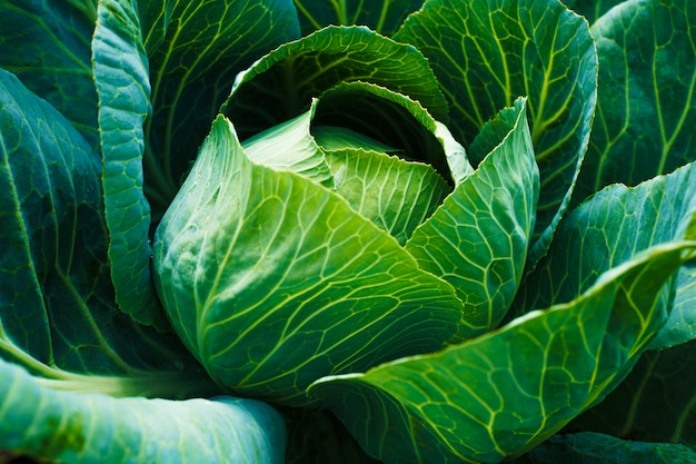 Fresh green head of cabbage. vegetable growing concept.