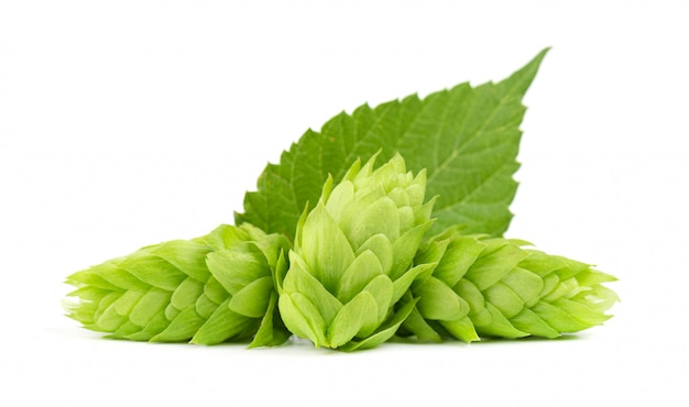 Fresh green hop branch, isolated . hop cones for making beer and bread. close up.