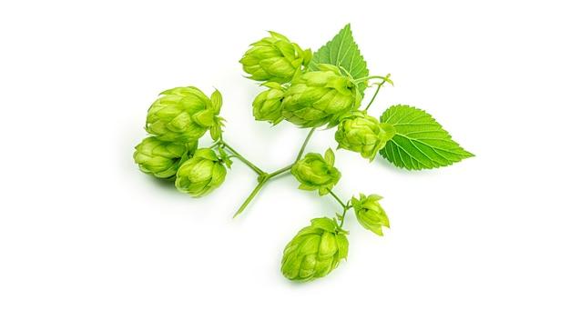 Ветвь свежего зеленого хмеля, изолированная на белой предпосылке. шишки хмеля для приготовления пива и хлеба. закройте вверх. фото высокого качества