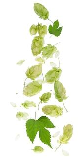 新鮮な緑のホップの枝、白い背景で隔離。ビールやパンを作るためのホップコーン。閉じる