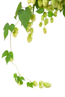 흰색 표면에 고립 된 신선한 녹색 홉 지점. 맥주와 빵을 만들기위한 홉 콘. 확대