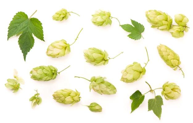 신선한 녹색 홉 지점, 흰 벽에 격리. 맥주와 빵을 만들기위한 홉 콘. 확대
