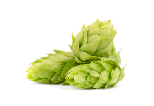 Fresh green hop branch on white background