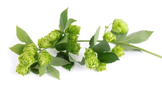 신선한 녹색 홉 분기, 흰색 배경에 고립. 잎이 달린 홉 콘. 유기농 홉 꽃. 확대.