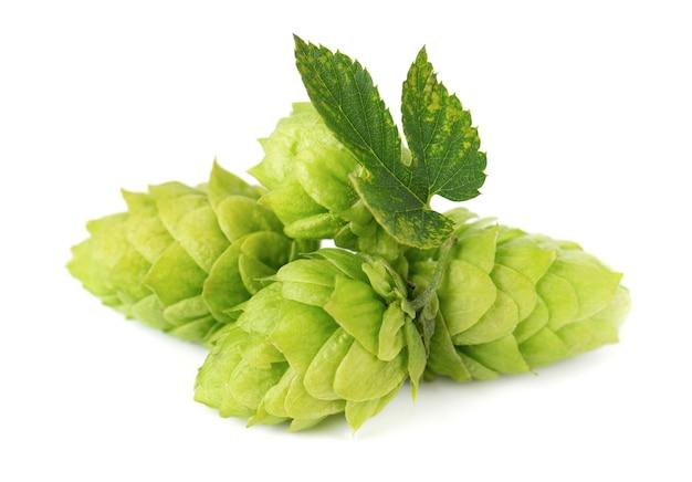 Ветвь свежего зеленого хмеля, изолированные на белом фоне, шишки хмеля с листьями, органическими цветами хмеля, крупным планом