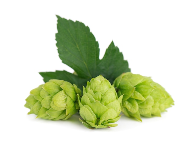 Fresh green hops branch isolated on a white background hop cones with leaf organic hop flowers close