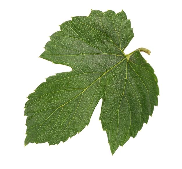 신선한 녹색 홉 잎, 흰색 배경에 고립. 확대.