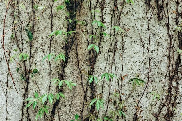 Свежие зеленые листья и ветви плюща