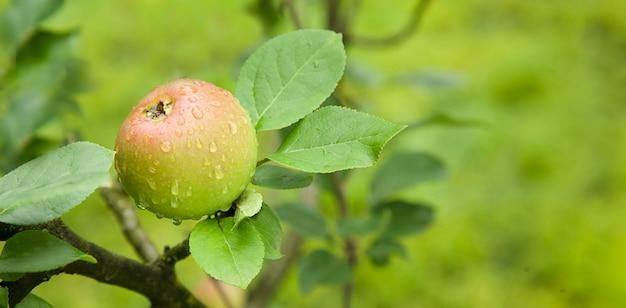 나무 가지에 신선한 녹색 육즙 사과 비 방울 천연 유기농 배경