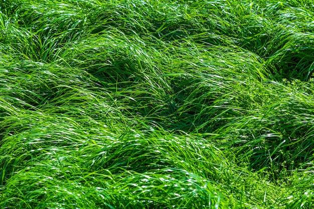 디자인 또는 배경 사용을 위한 신선하고 육즙이 많은 잔디 배경, 태양에 푸른 잔디 잎이 있는 에코 개념