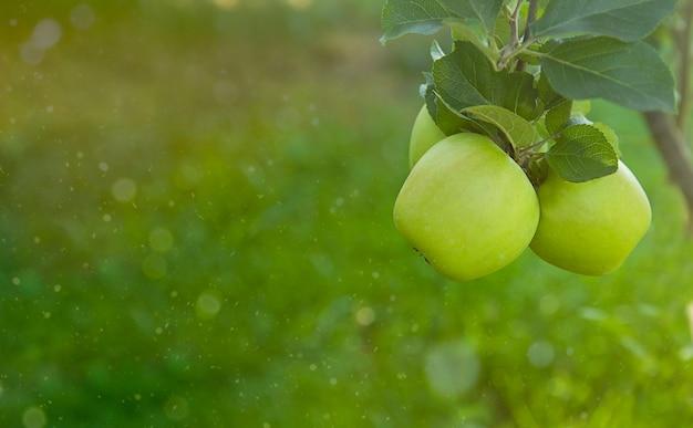 나무 가지에 신선한 녹색 육즙 유기농 사과 건강한 라이프 스타일 자연 유기농 배경