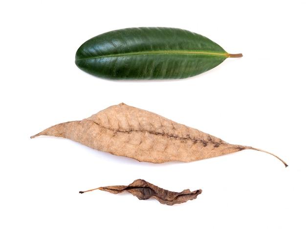 Свежие зеленые листья и коричневые вянуть сухие листья изолированные на белой предпосылке.