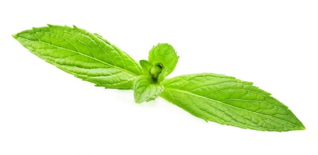 Свежий зеленый лист мелиссы, изолированные на белом фоне