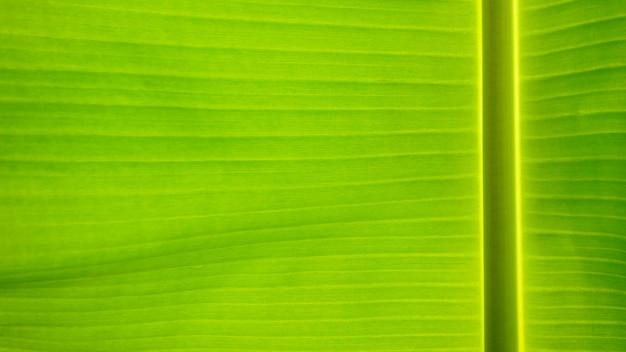 Fresh green leaf texture background of banana