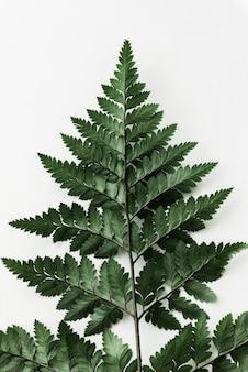 Fresh green leatherleaf fern isolated on an off white background
