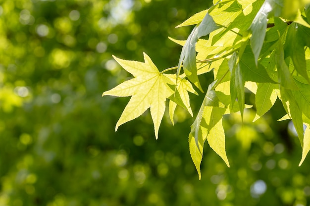 Fresh green leaves background with abstract blurred foliage and bright summer sunlight.