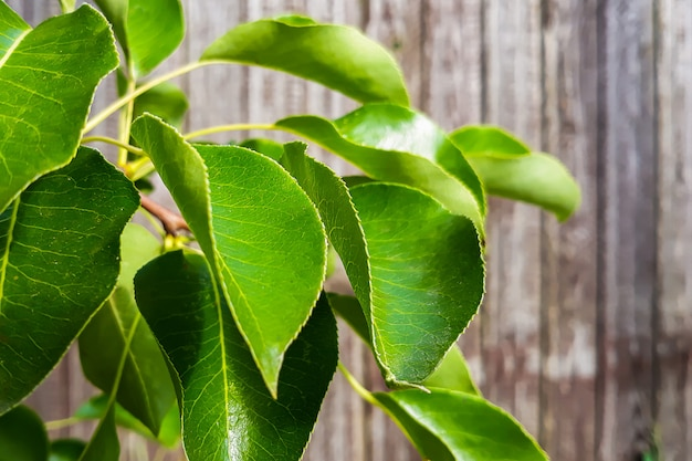 Fresh green leaves on a branch on a wooden background