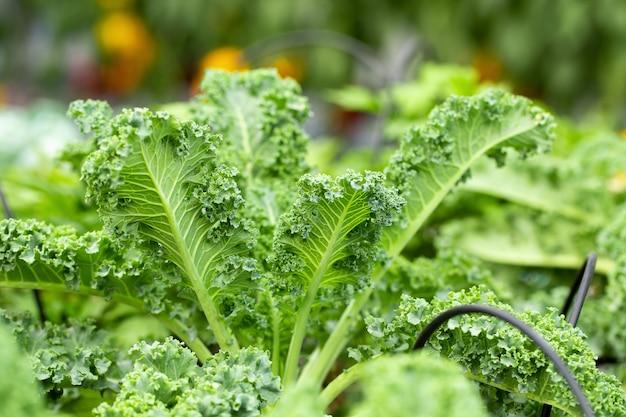 Fresh green leaves of kale. green vegetable leaves plant